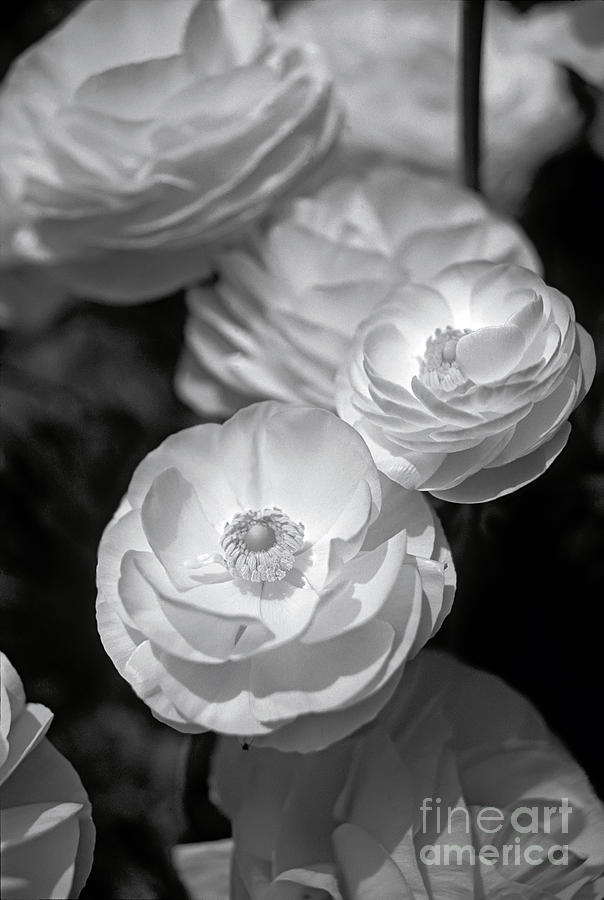 Close up of flowers in black and white photograph by david zanzinger flowers photograph close up of flowers in black and white by david zanzinger mightylinksfo