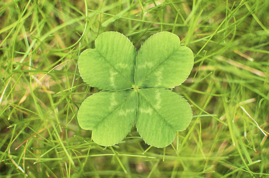Close Up Of Four Leaf Clover Photograph by Matt Walford