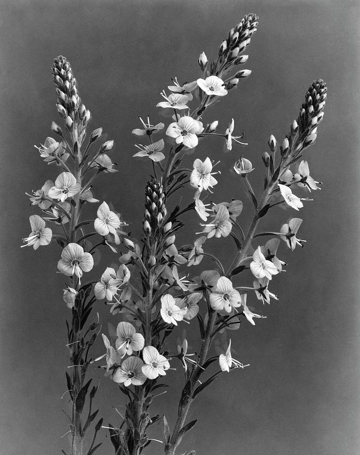 Close Up Of Gentian Speedwell Flowers Photograph by J. Horace McFarland