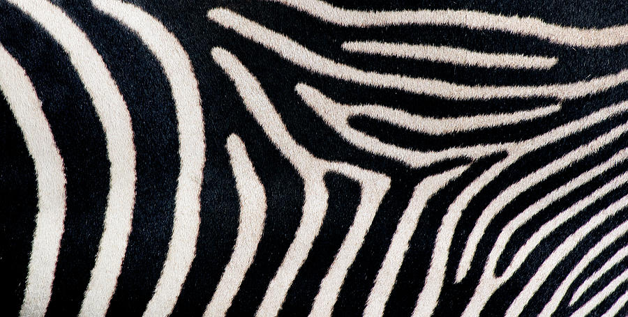 Horizontal Photograph - Close-up Of Greveys Zebra Stripes by Animal Images