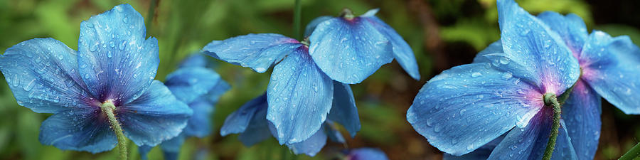 Horizontal Photograph - Close-up Of Himalayan Poppy Flowers by Panoramic Images