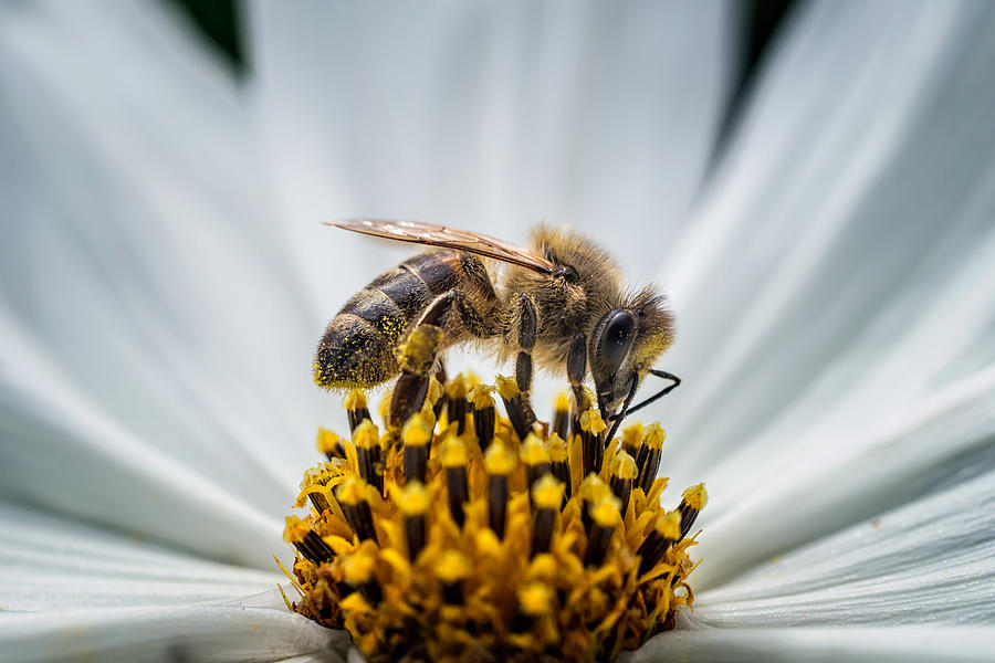 Close-Up Of Honey Bee Pollinating Flower Photograph by Martin Kyburz / EyeEm