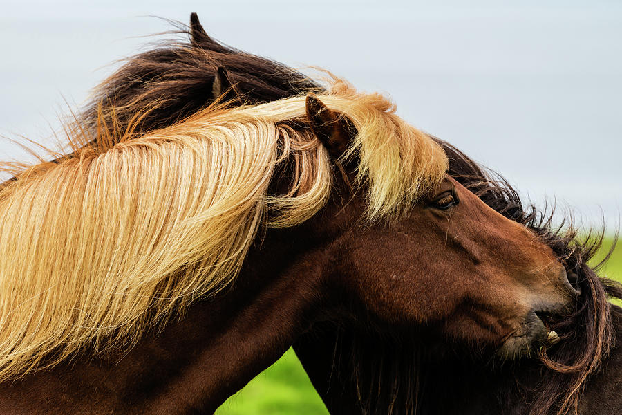 Close Up Of Icelandic Horses Grooming Photograph by Pixelchrome Inc