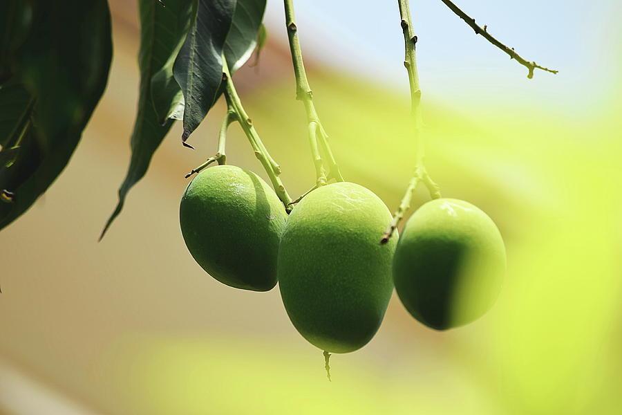 Close-up Of Mangoes Hanging From Twig Photograph by Sukh Simran Singh Gandam / Eyeem