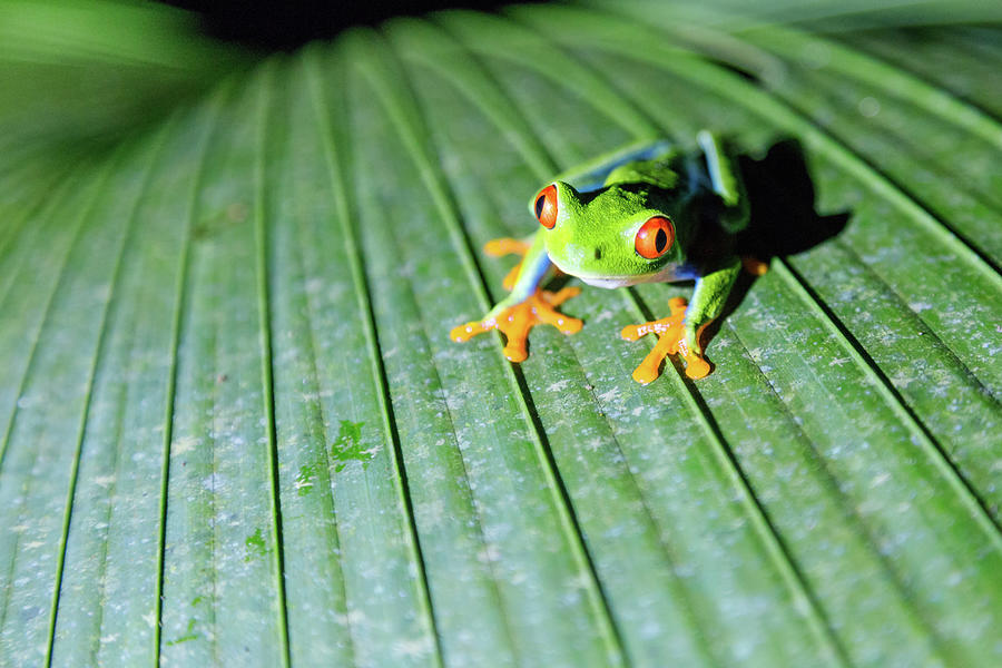 Close Up Of Red Eyed Tree Frog, Costa Photograph by Matteo Colombo