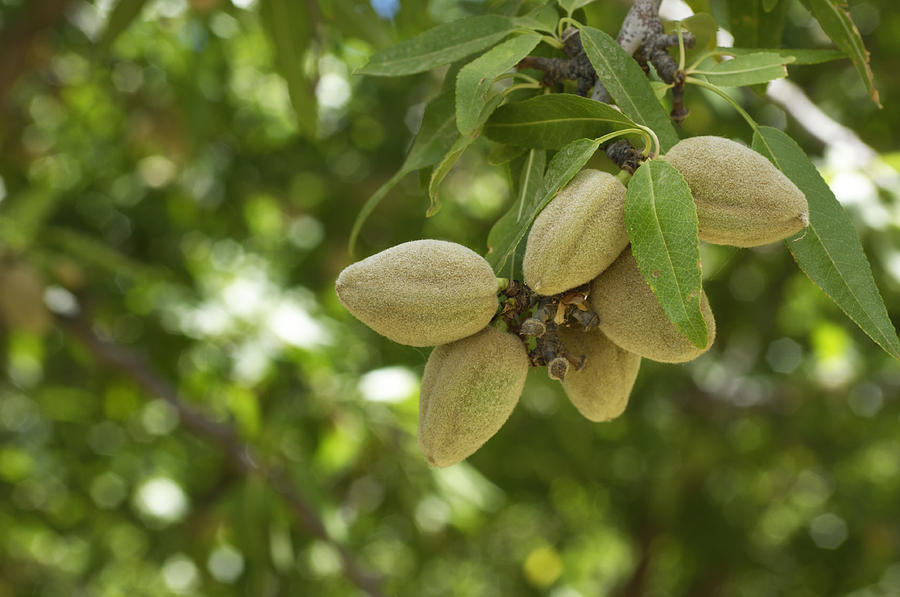 Close-up Of Ripening Almonds On Central California Orchard Photograph by GomezDavid