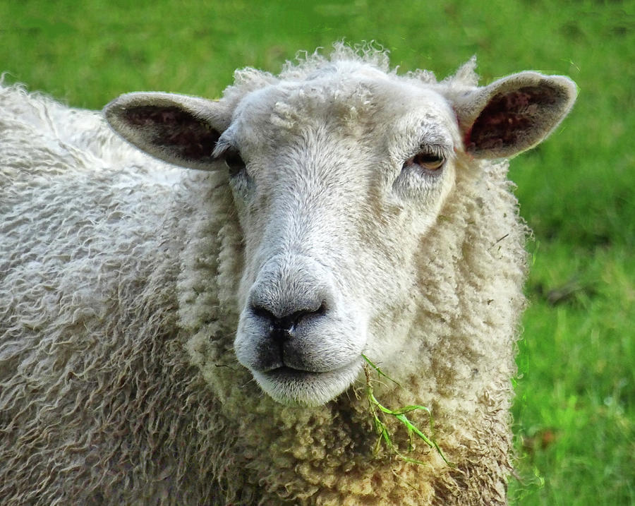 Close Up Of Sheep Photograph by Patricia Hamilton