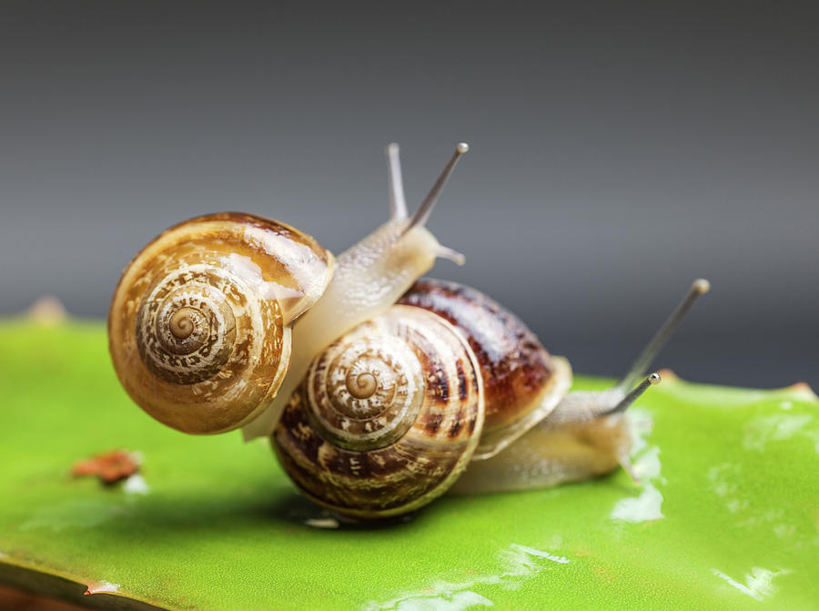 Close Up Of Two Snails Matting Photograph by Ozgur Donmaz