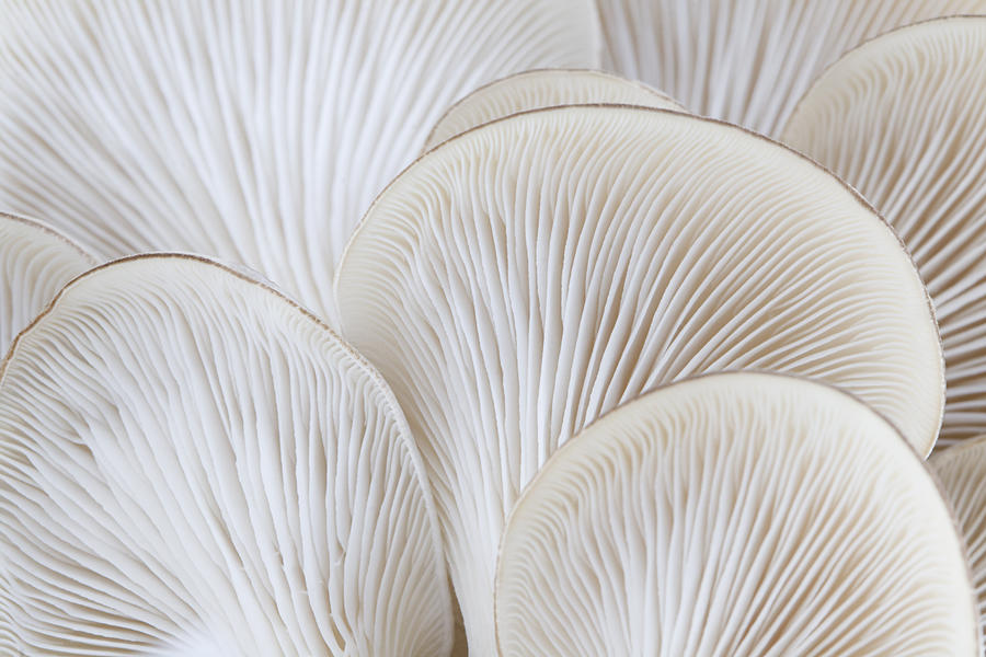 Close up of white colored Oyster mushroom Photograph by Alanphillips