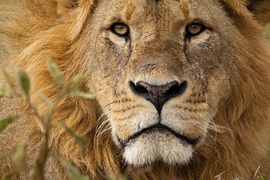 Close-up Portrait Of A Majestic Lions Solemn Face Photograph by WLDavies