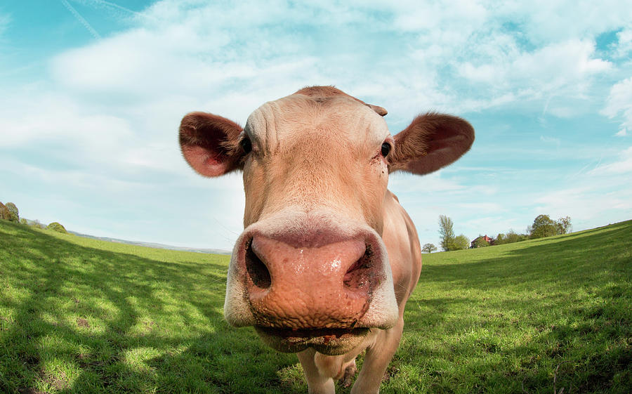 Close Up Portrait Of Cow Photograph by Peter Chadwick Lrps