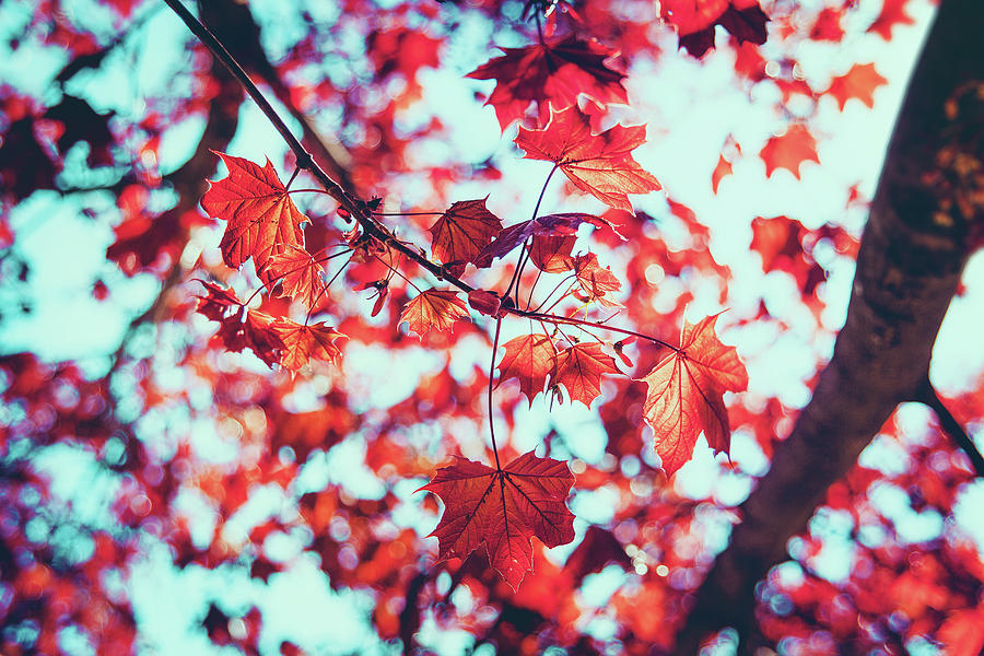 Closeup Of Reddish Maple Leaves In Photograph by D3sign