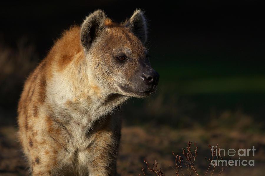 Closeup Portrait Of A Hyena Photograph