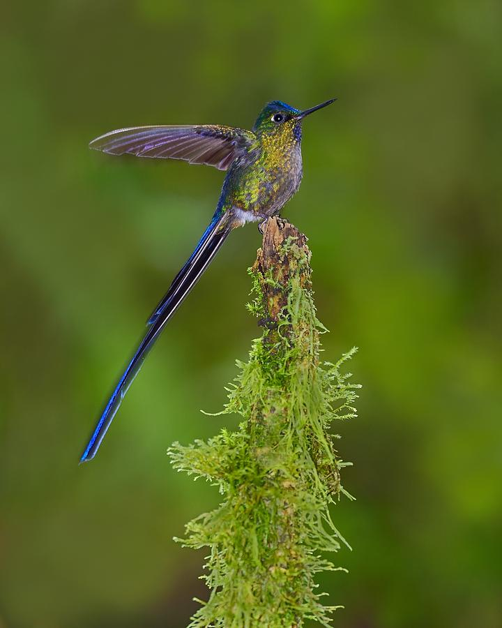 Violet-tailed Sylph Photograph - Cloud Forest Fairy by Tony Beck