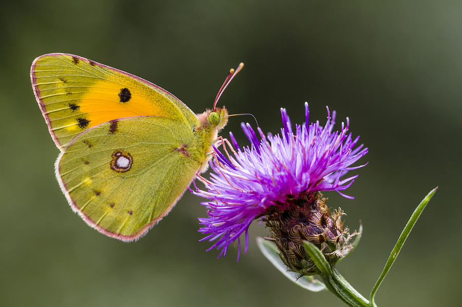 Clouded Yellow Butterfly Feeding Photograph by Alex Huizinga