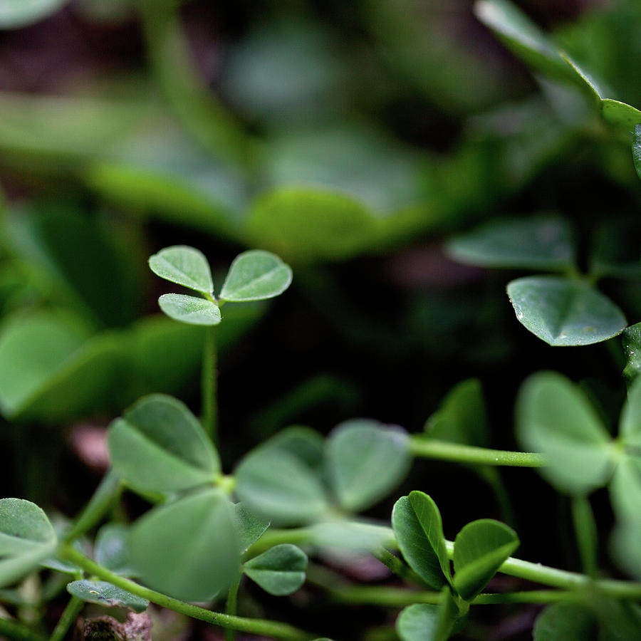 Clovers In An Italian Lawn In Spring Photograph by Les Hirondelles Photography