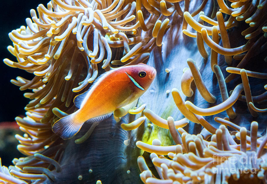 Amphiprion Photograph - Clown Fish - Anemonefish Swimming Along A Large Anemone Amphiprion by Jamie Pham
