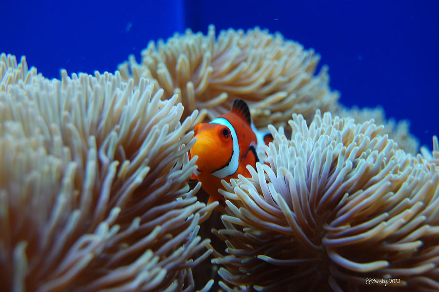 Clown Fish In Sea Anemone Photograph By Susan Stevens Crosby