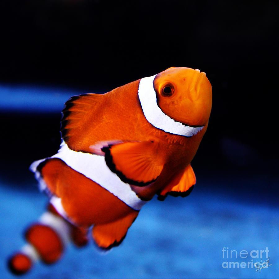 Clown Fish Photograph by Nishanth Gopinathan