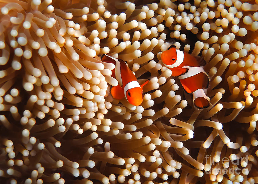 Adventure Photograph - Clownfish In Coral  by Fototrav Print