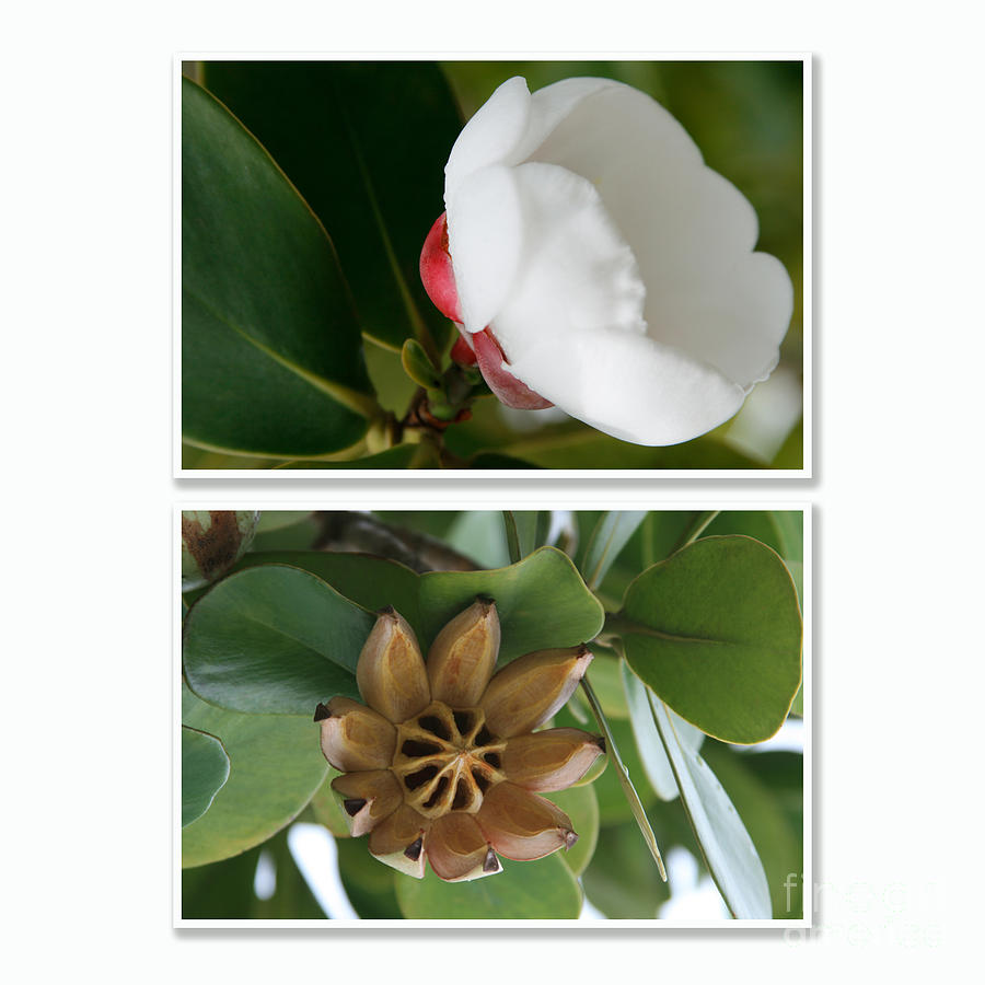 Aloha Photograph - Clusia Rosea - Clusia Major - Autograph Tree - Maui Hawaii by Sharon Mau