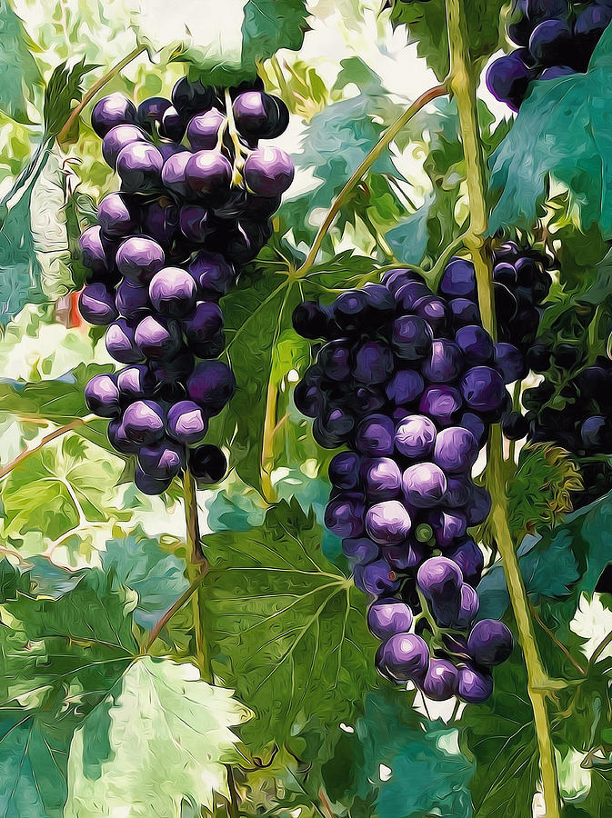 Clusters Of Red Wine Grapes Hanging On The Vine Painting