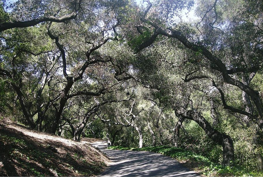 Landscape Photograph - Coast Live Oaks by Marian Jenkins