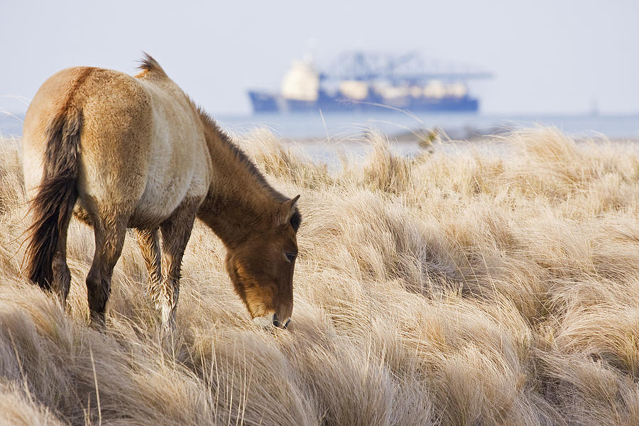 Coastal Wild Horse With Ocean Going Freighter In Background Photograph