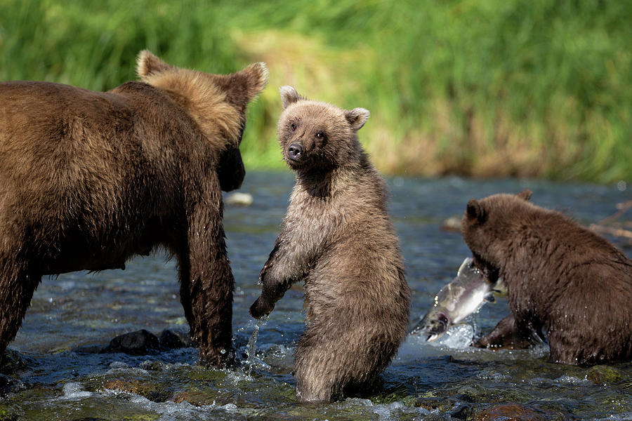Coastal Brown Bear Family Photograph by Justinreznick