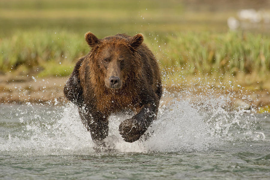 Adult Photograph - Coastal Grizzly Boar Fishing by Kent Fredriksson