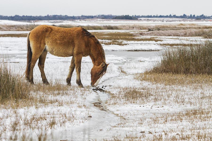 Coastal Wild Horse In Snow Photograph By Bob Decker