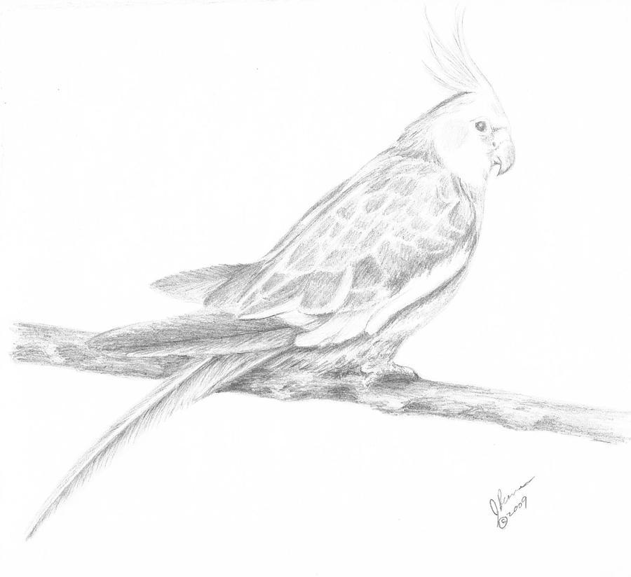 Cockatiel Drawing By Joann Renner