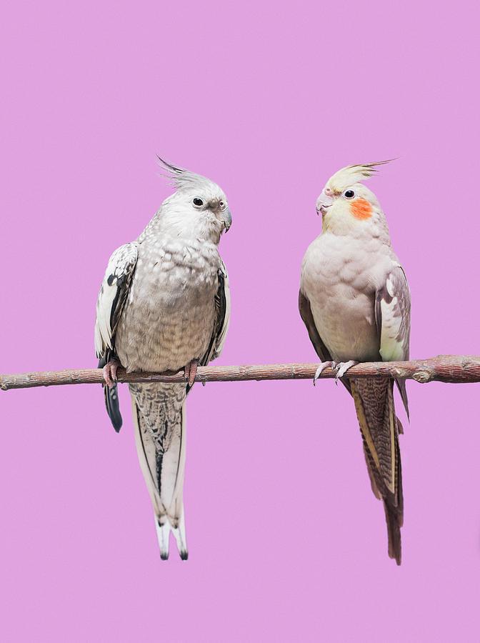 Cockatiel Parrots Photograph by Larry Washburn