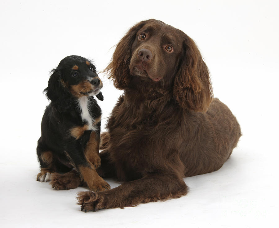 cocker spaniel tricolor cocker spaniel and tricolor pup photograph by mark taylor 453