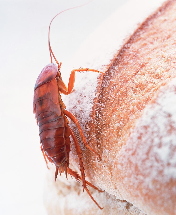 Cockroach Photograph - Cockroach On Bread by Gustoimages/science Photo Library