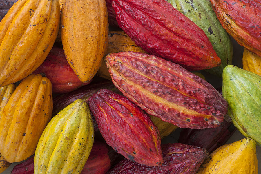 Image result for cocoa fruits