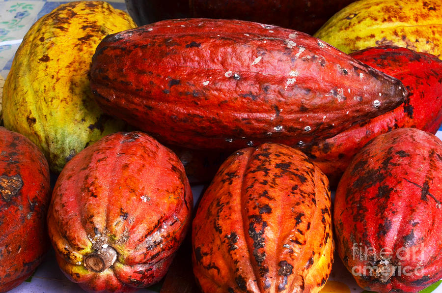 Plant Photograph - Cocoa Pods by Pravine Chester