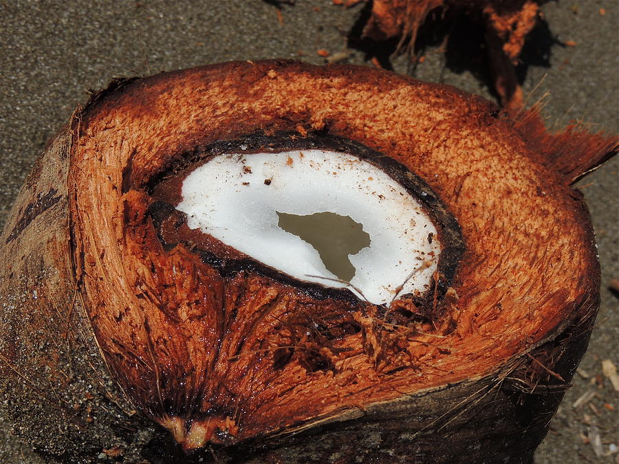Coconuts Photograph - Coconut by Gregory Young
