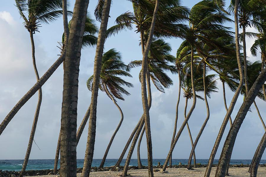 Atoll Photograph - Coconut Palm (cocos Nucifera by Pete Oxford