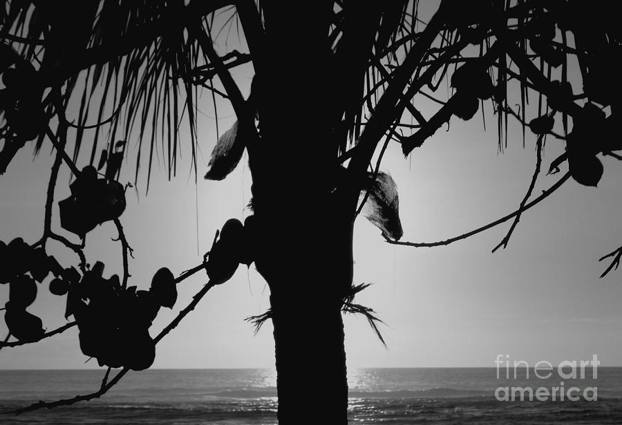 Coconut Palm - Cocotier - Ile De La Reunion - Reunion Island - Ocean Indien - Indian Ocean  Photograph - Coconut Palm - Cocotier - Ile De La Reunion - Reunion Island by Francoise Leandre