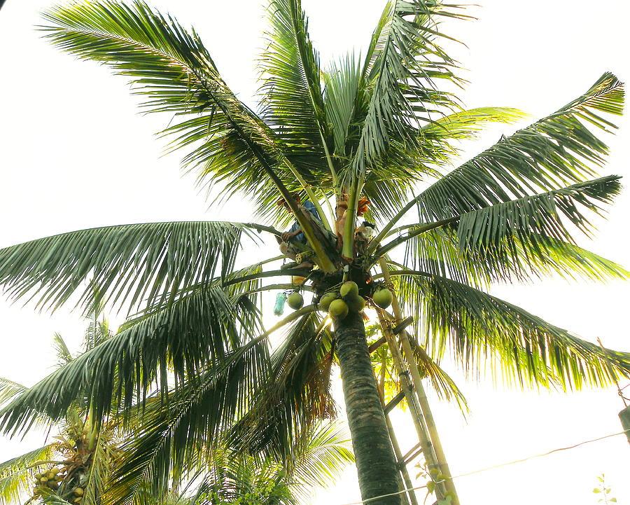 Palm Tree Photograph - Coconut Tree by Dietmar Scherf