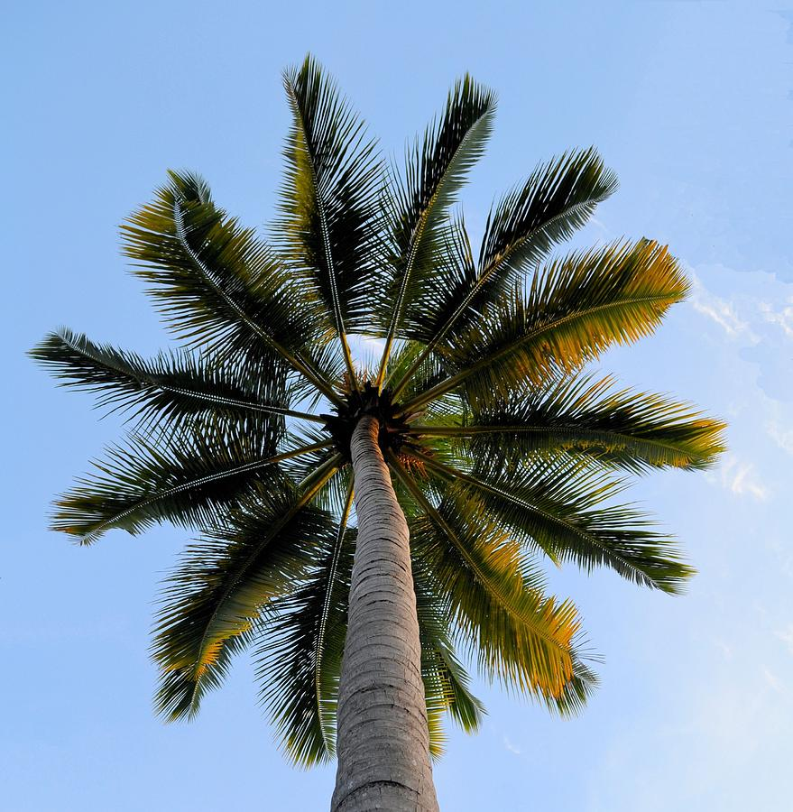 Coconut Tree Photograph by My Image