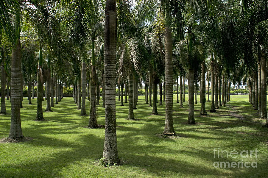 Abundance Photograph - Coconuts Trees In A Row by Sami Sarkis