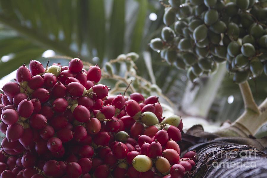 Aloha Photograph - Cocos Nucifera - Niu Mikihilina - Palma - Niu - Arecaceae -  Palmae by Sharon Mau