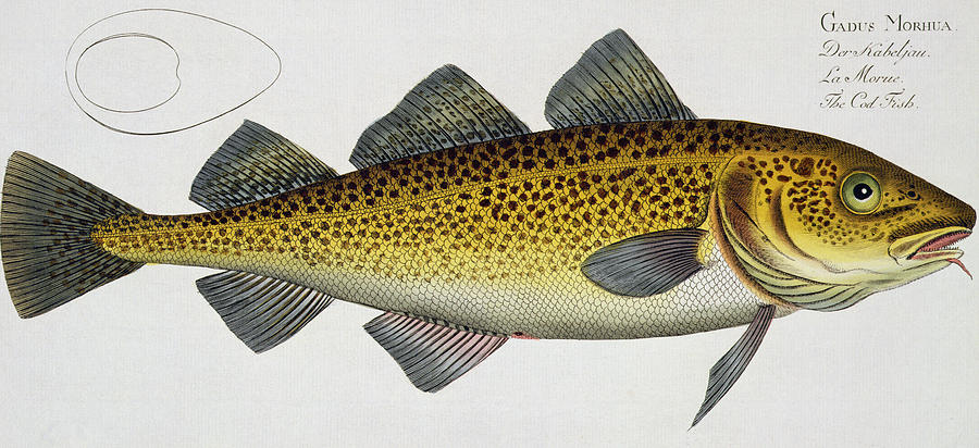 Cod Painting - Cod by Andreas Ludwig Kruger