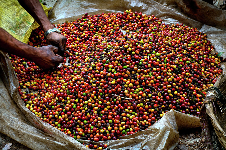 Coffee Berries, El Salvador Photograph by John Coletti