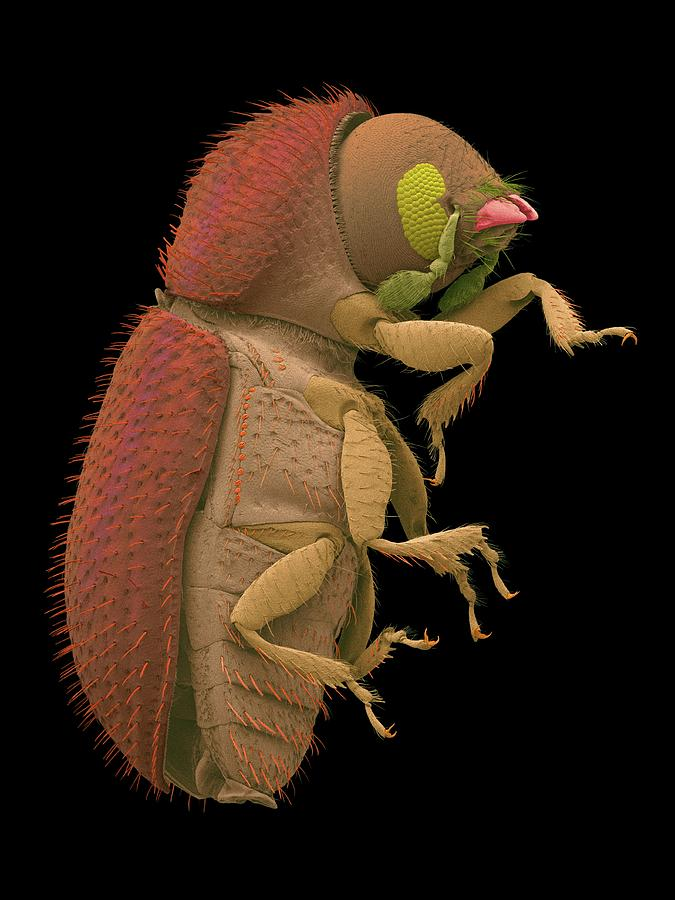 Agricultural Photograph - Coffee Berry Borer by Dennis Kunkel Microscopy/science Photo Library