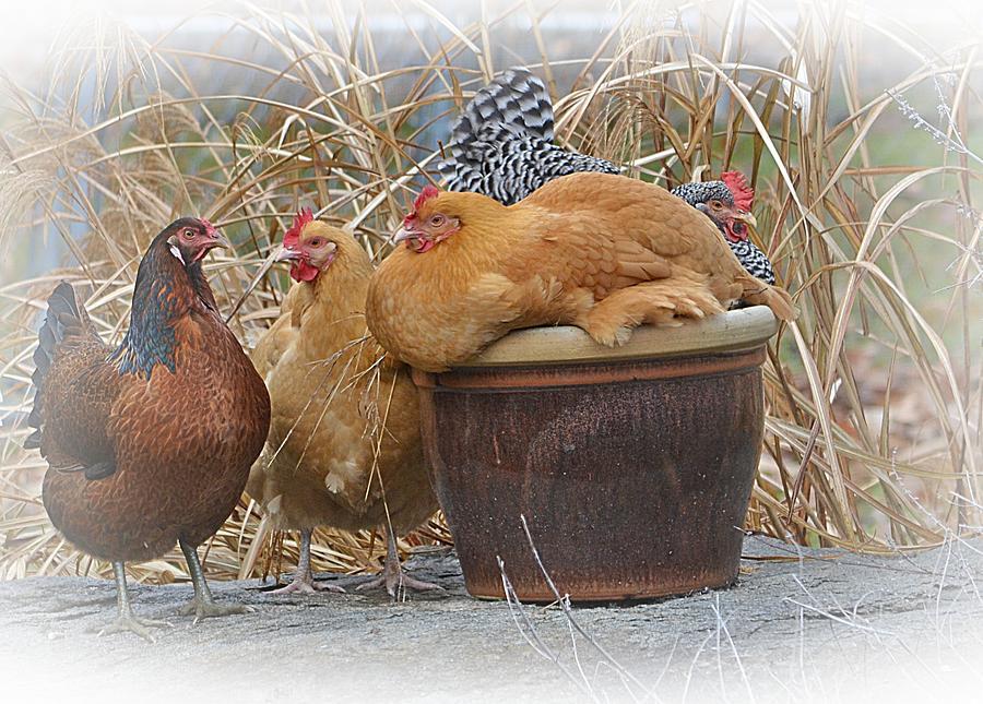Chickens Photograph - Coffee Clutch by Marjorie Tietjen