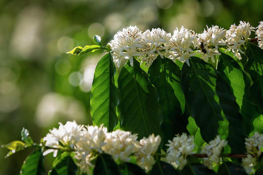 Coffee Coffea Arabia Blossoms, Kona Photograph by Alvis Upitis