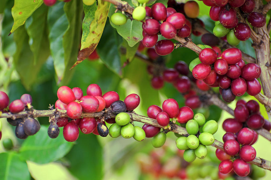 Coffee, Coffea Arabica, Cherries On Tree Photograph by Nnehring